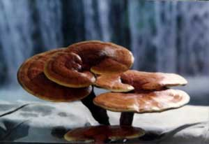Learn more about REISHI - collection of items from internet